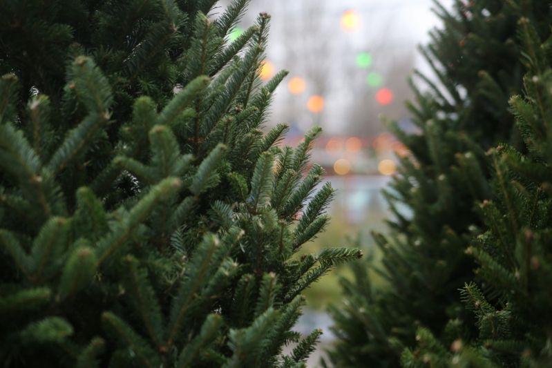 Первую партию из 2500 новогодних деревьев привезли в Новосибирск