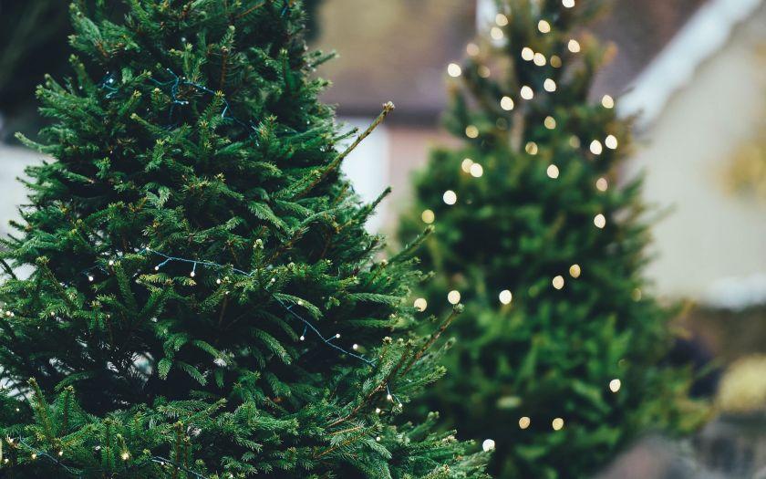 В Новосибирск привезли 2,5 тысячи «новогодних» пихт