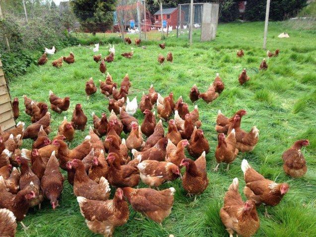 Юрист Спиридонова рассказала о запрете содержания сельскохозяйственных животных на садовом участке